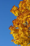 Fall colors. Unique vertical format pattern of yellow fall leaves against brilliant blue sky Stock Photography