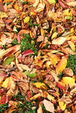Fall colors. As seen in fallen leaves on grass Stock Photos