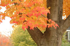 Fall colors. Maple turning red in Fall season Stock Photos