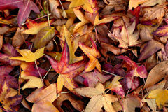Fall colors. Leaves on the ground in Fall colors Stock Photos