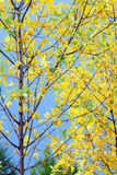 Fall Colors. A tree's leaves show vibrant colors in as the seasons change Royalty Free Stock Photo