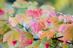 Fall Colors. Colorful fall leaves blow gently in the wind.  Focus on center of frame leaf Royalty Free Stock Images