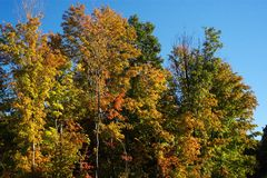 Fall Colors. Brilliant fall colors in a copse of trees Royalty Free Stock Photography