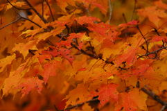 Fall colors. Maple leaves in fill fall colors Stock Photo