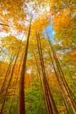 Fall Colors Arching to the Sky. In Great Snoky Mountains National Park in North Carolina royalty free stock photo