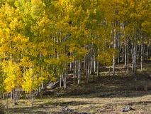 Fall colors, Aspens Stock Photo