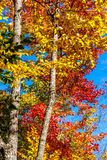 Fall Colors. Beautiful Fall colors against Blue sky royalty free stock photography
