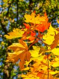Autumn Leaves of Gold royalty free stock photography