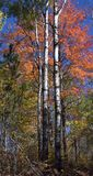Fall Colors, Birch Trees, Autumn, Upper Michigan. Seasonal autumn colors in upper Michigan. Birch trees stand tall with a backrop of reds and yellows from fall stock photo