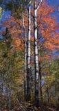 Fall Colors, Birch Trees, Autumn, Upper Michigan stock photo