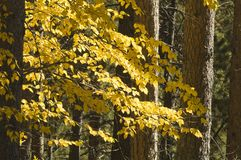 Fall Colors in the Black Hills. Of South Dakota. Detail of Aspen and Ponderosa Pine Royalty Free Stock Image