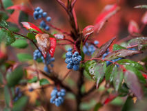 Fall Colors - Blue Berries Against Bright Backgrounds. Even the tiny blue berries stand out against the deep greens and reds of the fall stock images