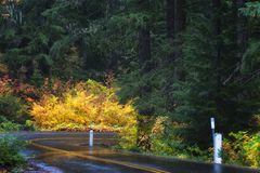 Autumn Colors on McKenzie Pass-Santiam Pass Scenic Byway. Fall colors bring bright contrast to the heavily wooded forest along highway 242 portion of the royalty free stock photo