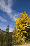 Fall Colors Colorado. Fall colors of aspen tree in the Indian Peaks Wilderness just west of Boulder Colorado Stock Photography