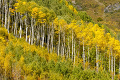 Fall Colors in Colorado Mountains Stock Image