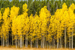Fall Colors in Colorado Mountains Royalty Free Stock Photo