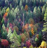 Fall Colors in the Country. Aspen Trees among pine trees stock photo