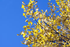 Fall colors deciduous tree golden yellow leaves against a bright. Blue sky Stock Photo