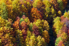 Fall colors of a forest in italian Alps Royalty Free Stock Image