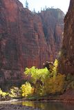 Fall colors in the gorge of the Virgin River in Zion National Park Royalty Free Stock Photo