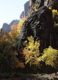 Fall colors in the gorge of the Virgin River in Zion National Park. Photograph of the red sandstone cliffs of Zion National Park in the gorge of the Virgin River Royalty Free Stock Photo