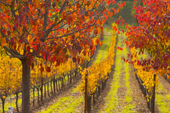 Fall colors in Grape Field. Beautiful Fall colors in Grape Field stock images