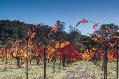 Fall colors - grapes plant. Grapes plants vine in a vineyard fied in a winery. wine county Napa California Royalty Free Stock Photography