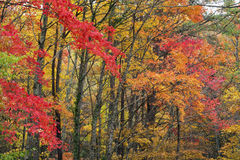 Fall colors in the Great SMoky Mountains. A forest of colorful leaves in the fall Stock Images