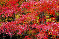 Fall colors in the Great SMoky Mountains. A forest of colorful leaves in the fall Royalty Free Stock Image
