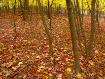 Fall Colors In Illinois. Beautifully colored fall leaves cover a woodland at Kishwaukee Gorge Forest Preserve in northern Illinois Stock Photo