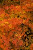 Fall colors - leaves. Background of extremely colorful yellow red leaves Royalty Free Stock Photo
