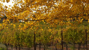 Fall colors, leaves and vineyard beyond stock video footage
