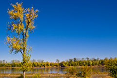 Fall Colors of the Missouri River. Trees with autumn gold colors against a solid blue sky on the Missouri River in Washington, Missouri, on a quiet, calm day Stock Images
