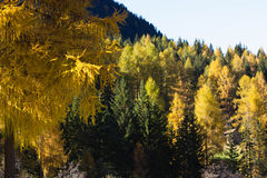 Fall colors in a mountain forest Stock Images