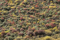 Fall colors and mountain shrubs. Beautiful autumn colors of green, yellow, red and mountain shrubs Royalty Free Stock Photography