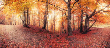 Fall colors old woodland. Panorama of fall colors old woodland royalty free stock photo