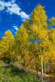 Fall Colors and purple wild flowers near Pandora Lane Telluride Royalty Free Stock Images