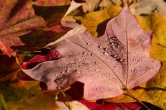Fall Colors. Red and orange fall leaves, drought damage Stock Photo
