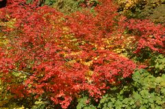 Fall colors of red and yellow Stock Images