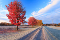 Fall colors in rural Canada. Red maple trees in a frosty sunny fall morning in rural Ottawa Stock Images