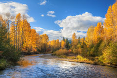 Fall colors on Snoqualmie River. Snoqualmie River flows through deciduous forest under blue skies during peak of fall color season in the Cascade Mountains of Royalty Free Stock Image