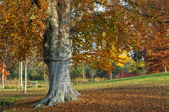 Fall colors on a solitary tree Royalty Free Stock Photography