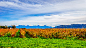 Fall Colors of straight Rows of Blueberry Plants in Farmer Fields in the Fraser Valley. Of British Columbia, Canada Stock Photos
