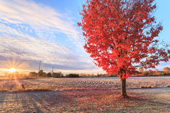 Fall colors at sunrise in rural Canada. With red maple tree in the foreground Royalty Free Stock Photo