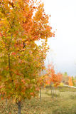 Fall Colors - Vertical. Fall colors in a park with trees at various distances Stock Photos