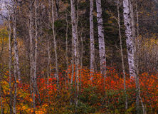 Fall Colors in Wenatchee NF Royalty Free Stock Photography