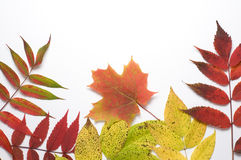 Fall Colors on White Background Royalty Free Stock Photo