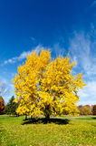 Fall colors, yellow. Golden fall foliage on a sunny autumn day Royalty Free Stock Image