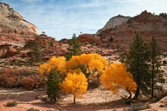 Fall Colors at Zion. Sunlit grove of deciduous trees in fall color at Zion Canyon National Park, Utah Royalty Free Stock Photos