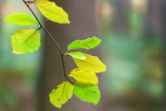 Fall Colour background. Autumn green leaves isolated from the background royalty free stock image